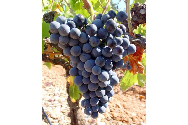 Behind The Grapes - Pinotage